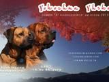 Собаки, щенята Японський мастиф (Тоса-іну), ціна 26000 Грн., Фото