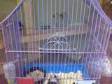 Гризуни Морські свинки, ціна 150 Грн., Фото