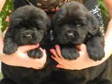 Собаки, щенки Ньюфаундленд, цена 10 Грн., Фото