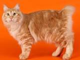 Кішки, кошенята Курильський бобтейл, ціна 1000 Грн., Фото