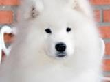 Собаки, щенки Самоед, цена 12000 Грн., Фото