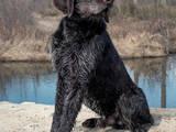 Собаки, щенки Немецкая жесткошерстная легавая, цена 7 Грн., Фото