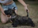 Собаки, щенята Скотчтерьер, ціна 8000 Грн., Фото