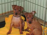 Собаки, щенки Карликовый пинчер, цена 6000 Грн., Фото