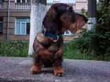 Собаки, щенята Жорсткошерста такса, Фото