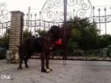 Собаки, щенята Спаровування, ціна 2500 Грн., Фото