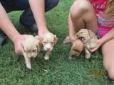 Собаки, щенята Російський спаніель, ціна 500 Грн., Фото