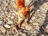 Собаки, щенята Шарпей, Фото