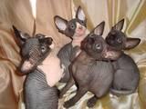 Кошки, котята Канадский сфинкс, цена 5000 Грн., Фото