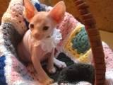 Кошки, котята Девон-рекс, цена 1600 Грн., Фото