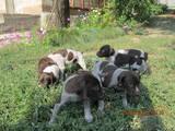 Собаки, щенята Німецька гладкошерста лягава, Фото
