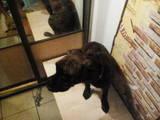 Собаки, щенки Боксер, цена 1300 Грн., Фото
