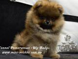 Собаки, щенята Карликовий шпіц, ціна 35000 Грн., Фото
