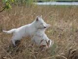 Собаки, щенята Біла Швейцарська вівчарка, ціна 2500 Грн., Фото