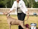 Собаки, щенята Веймарська лягава, ціна 18000 Грн., Фото
