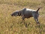 Собаки, щенки Веймарская легавая, цена 18000 Грн., Фото
