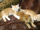 Кішки, кошенята Мейн-кун, ціна 3000 Грн., Фото