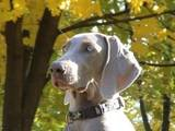 Собаки, щенята Веймарська лягава, ціна 15000 Грн., Фото