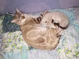 Кішки, кошенята Тайська, ціна 500 Грн., Фото