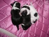 Собаки, щенки Китайская хохлатая собака, цена 6000 Грн., Фото