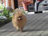 Собаки, щенята Малий шпіц, ціна 9000 Грн., Фото