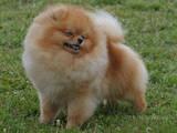 Собаки, щенки Малый шпиц, Фото