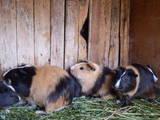Грызуны Морские свинки, Фото