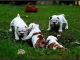 Собаки, щенки Английский бульдог, цена 1000 Грн., Фото