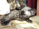Кішки, кошенята Девон-рекс, ціна 1500 Грн., Фото