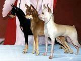 Собаки, щенки Русский гладкошерстный тойтерьер, цена 3000 Грн., Фото