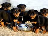 Собаки, щенята Ротвейлер, ціна 1200 Грн., Фото