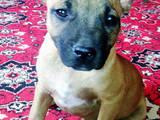 Собаки, щенки Американский стаффордширский терьер, цена 1000 Грн., Фото