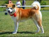 Собаки, щенята Акіта-іну, ціна 35000 Грн., Фото