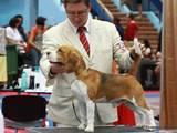 Собаки, щенки Бигль, Фото