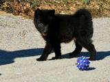 Собаки, щенки Неизвестная порода, цена 12000 Грн., Фото
