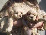Собаки, щенки Американский коккер, цена 1200 Грн., Фото