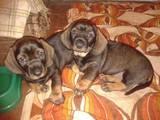 Собаки, щенки Жесткошерстная такса, цена 5000 Грн., Фото
