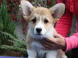 Собаки, щенята Вельш коргі пемброк, ціна 19000 Грн., Фото