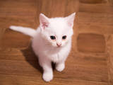 Кішки, кошенята Невідома порода, ціна 300 Грн., Фото