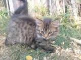 Кішки, кошенята Безпорідна, ціна 0.50 Грн., Фото