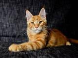 Кошки, котята Мэйн-кун, цена 10650 Грн., Фото