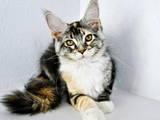 Кішки, кошенята Мейн-кун, ціна 10650 Грн., Фото