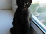 Кішки, кошенята Бомбейська, ціна 500 Грн., Фото