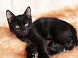 Кошки, котята Бомбейская, цена 500 Грн., Фото