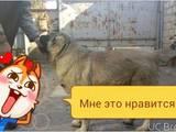 Собаки, щенки Кавказская овчарка, цена 4500 Грн., Фото
