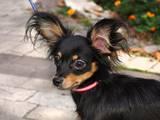 Собаки, щенки Русский длинношерстный тойтерьер, цена 3000 Грн., Фото