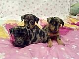 Собаки, щенки Гладкошерстная миниатюрная такса, цена 450 Грн., Фото