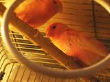 Папуги й птахи Канарки, ціна 500 Грн., Фото