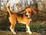 Собаки, щенята Бігль, ціна 9000 Грн., Фото