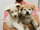 Собаки, щенки Акита-ину, цена 15000 Грн., Фото